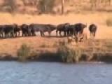 Lions Triangular Fight Alligator VS VS Buffalo