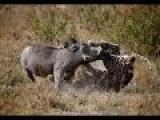 Leopard Vs Warthog Incredible Battle For Survival 2015