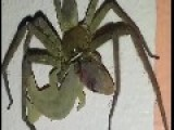 Large Spider Eating A Lizard Alive