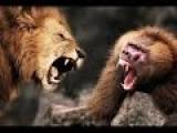 Lion Vs Baboon Vs Wild Dog - Amazing Video...!!!