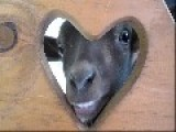 Lizzie The Valentine's Goat - Happy V.D. Liveleakers
