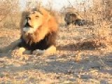 Lion Chorus Rock And Roar In Botswana