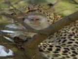 Leopard Hunting A Monkey In A Tree