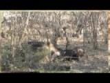 Lion Hunt And Kill Buffalo