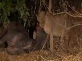 Lion Kill Buffalo Slow And Hard Way