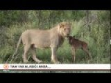 Lioness Hunts Baby Antelope