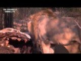 LIONS KILL GIRAFFE IN KRUGER 2015