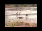 Lion Attack Giant Crocodile