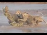 Lion Vs Crocodile