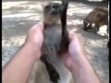 Little Baby Kangaroo Having Fun While Doing Massage. So Cute Kangaroo