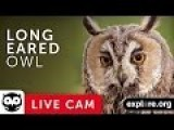 Long-Eared Owl Nest Cam Live