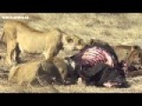 LION VS BUFFALO,5 LION KILL BUFFALO