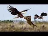 Lion Vs Eagle - Exclusive Video...!!!