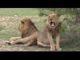 Lion Sneezes And Yawns In South Africa