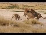 Lion Vs Lion - Female Lion Save Baby Lion...!!!