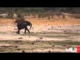 Lion Attack Compilation