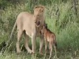 Lion Decides Not To Kill Baby Calf, But To Protect It!