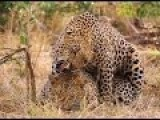 Leopard Mating Close Up In Zoo 2015 Hd