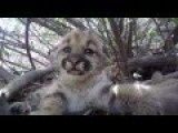 Litters Of Mountain Lion Kittens Born Near Los Angeles