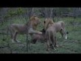 Lions Kills A Buffalo And Are Forced To Defend Their Kill