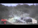 Lion Vs Rhino Real Fight