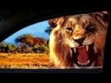 Lion Gives Tourists With Open Window A Little Scare