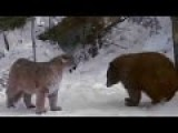 Lion Vs Bear | Bear Vs Bear | Real Fight | Most Amazing Wild Animal Attacks