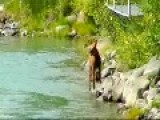 Mom Stands Her Ground - Moose Protects Her Calf From Brown Bear