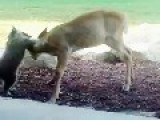 My Coon Playing With His Deer Friend
