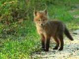 MAN Saves BABY FOX Trapped In Net = Narrates The Situation =