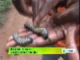 Mopane Worms Known As Delicacies In Some African States
