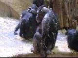 Monkey Slurping Own Urine The Thirst Is Real!