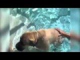 Massive Dog Clings To Dad Before Bravely Going For A Swim