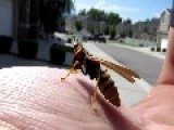 Mantid Fly - Half Praying Mantis, Half Wasp