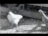 Meet The HEADLESS Chicken Who Lived For 2 Years