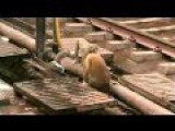 Monkey Revives Electrocuted Companion At Train Station In India