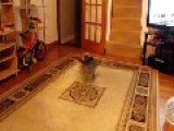 My Crazy Yorkshire Terrier Swinging Around In One Place, He Always Do That When Playing
