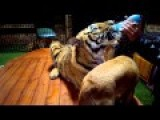 Midnight Snack Time For Tigers And Dogs