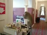 Monkey Steals Milk From Hotel Cart