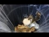 Milkshake Squirrel Steals Shake Shack From NYC Garbage