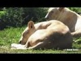 Male White Lion Chilling With Females On Grass Part 2