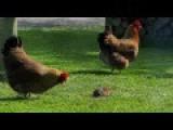 Mayhem Under The Bird Feeder - Territorial Rat Defends His Ground