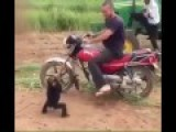 Monkey Really Wants To Ride On Motorcycle