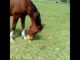 Musical Horse
