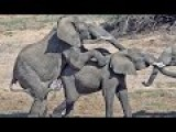 Male Elephants Mating