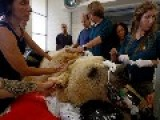 Mango The Syrian Brown Bear Undergoes One Of A Kind Surgery In Israel To Repair Vertebra