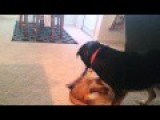 My Dog And Cat Playing Tug O War