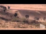 Mother Buffalo Saves Baby From 3 Lion