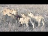 Mother And Baby Lion Kill Warthog