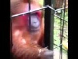 Monkey Eats A Banana